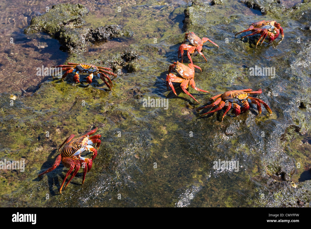 Red crabs Galapagos Islands Stock Photo
