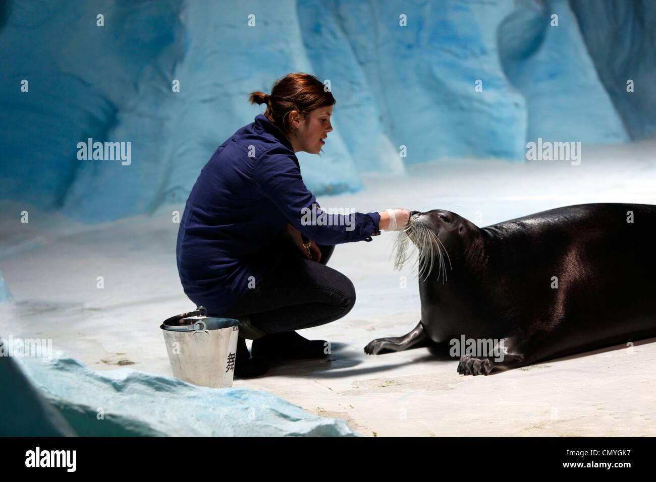 Norway, County of Troms, Tromso, Polaria museum, training of bearded seal (Erignathus barbatus) Stock Photo