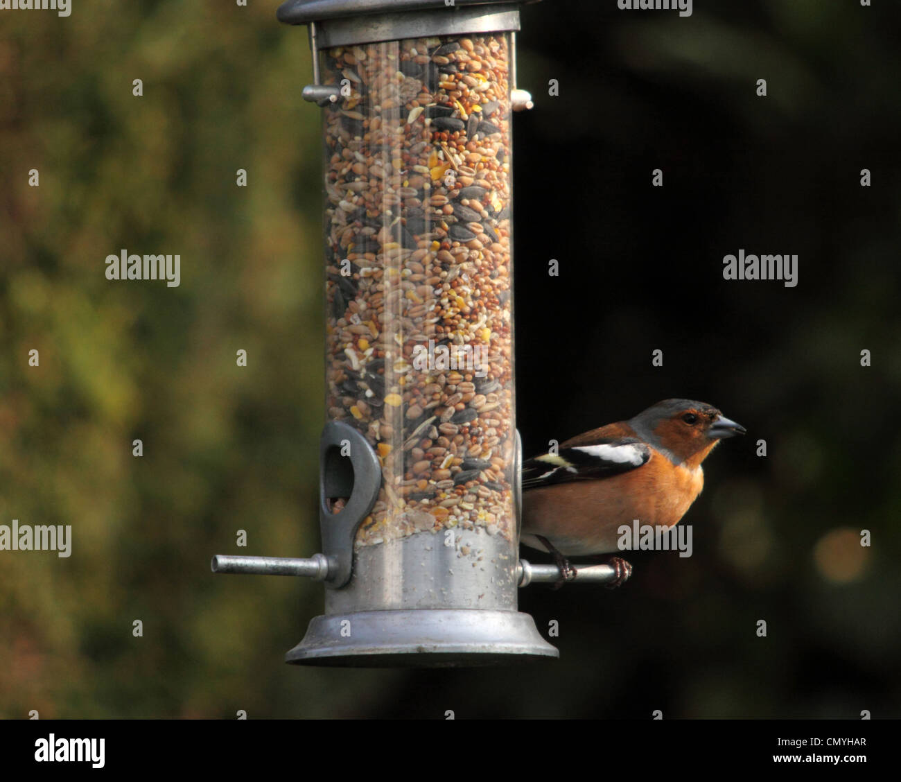 Chaffinch Fringilla coelebs. British garden bird on a seed feeder - Stock Image