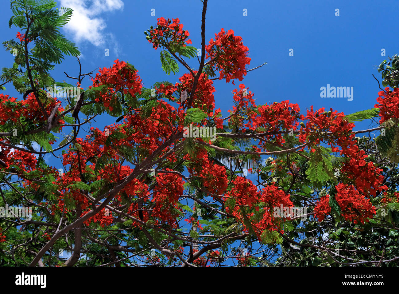 West Indies, Aruba, Flame Tree, Royal poinciana - Stock Image