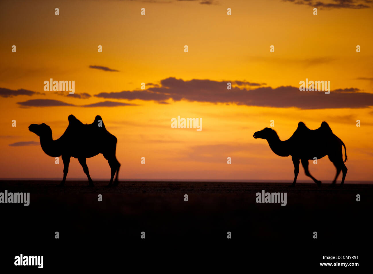 The camel on the Gobi desert , Mongolia - Stock Image