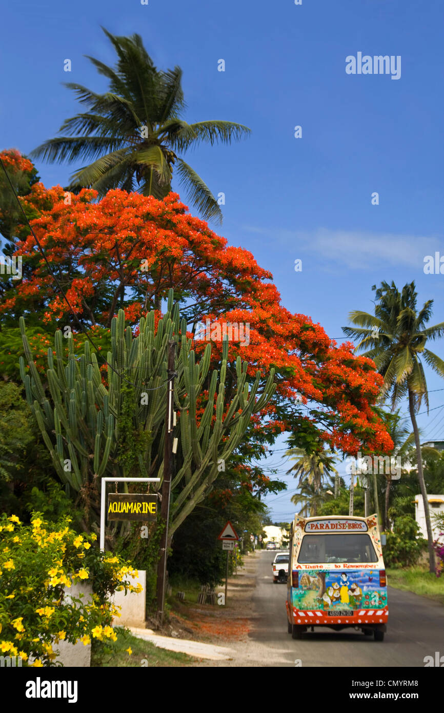 Mauritius, Africa Flame Tree, Flamboyant, Royal Poincian in Troux aux Biches, Mauritius, Africa - Stock Image