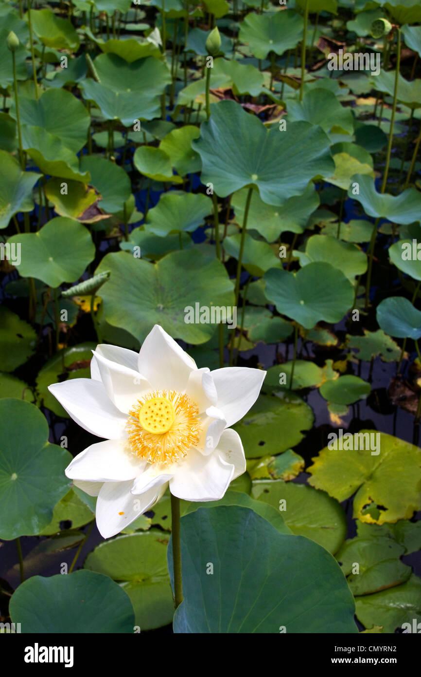 Nymphea lotus flower tank in sir seewoosagur ramgoolam royal stock nymphea lotus flower tank in sir seewoosagur ramgoolam royal botanical garden of pamplemousses mauritius africa mightylinksfo