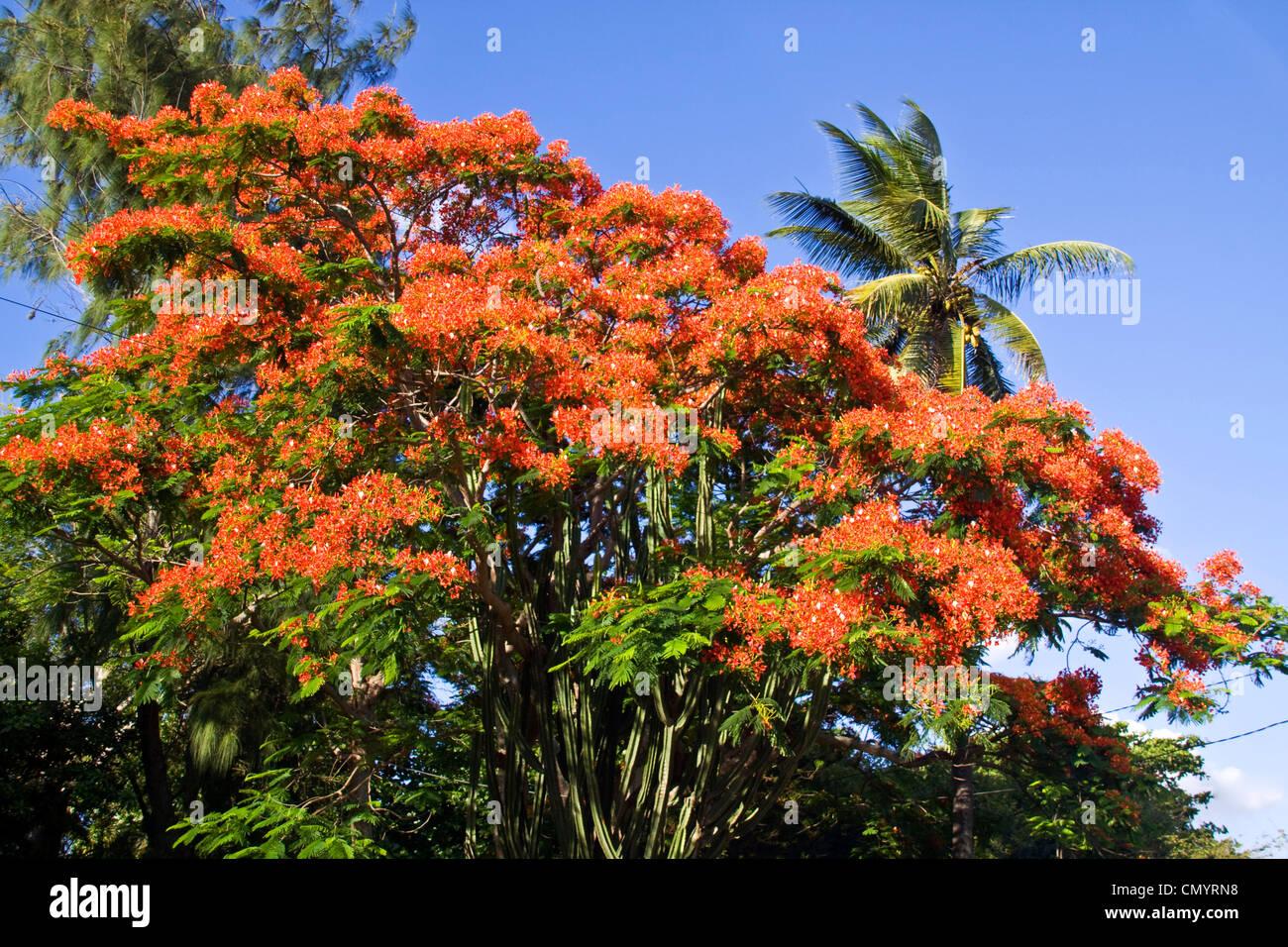 Flame Tree, Flamboyant, Royal Poinciana, nobody, Mauritius, Africa - Stock Image