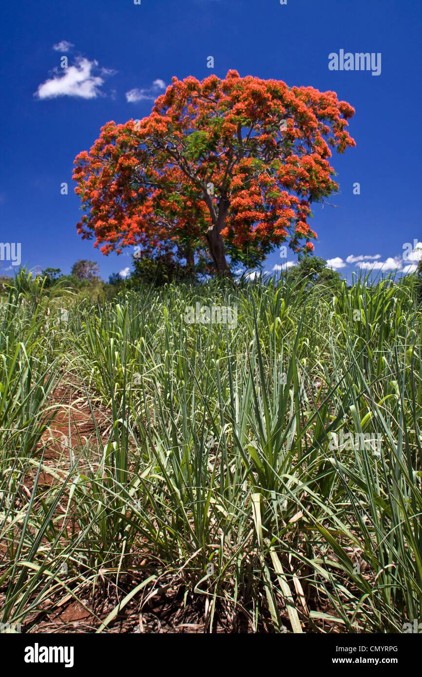 Flame Tree, Flamboyant, Royal Poinciana, sugar cane fields, Mauritius, Africa - Stock Image