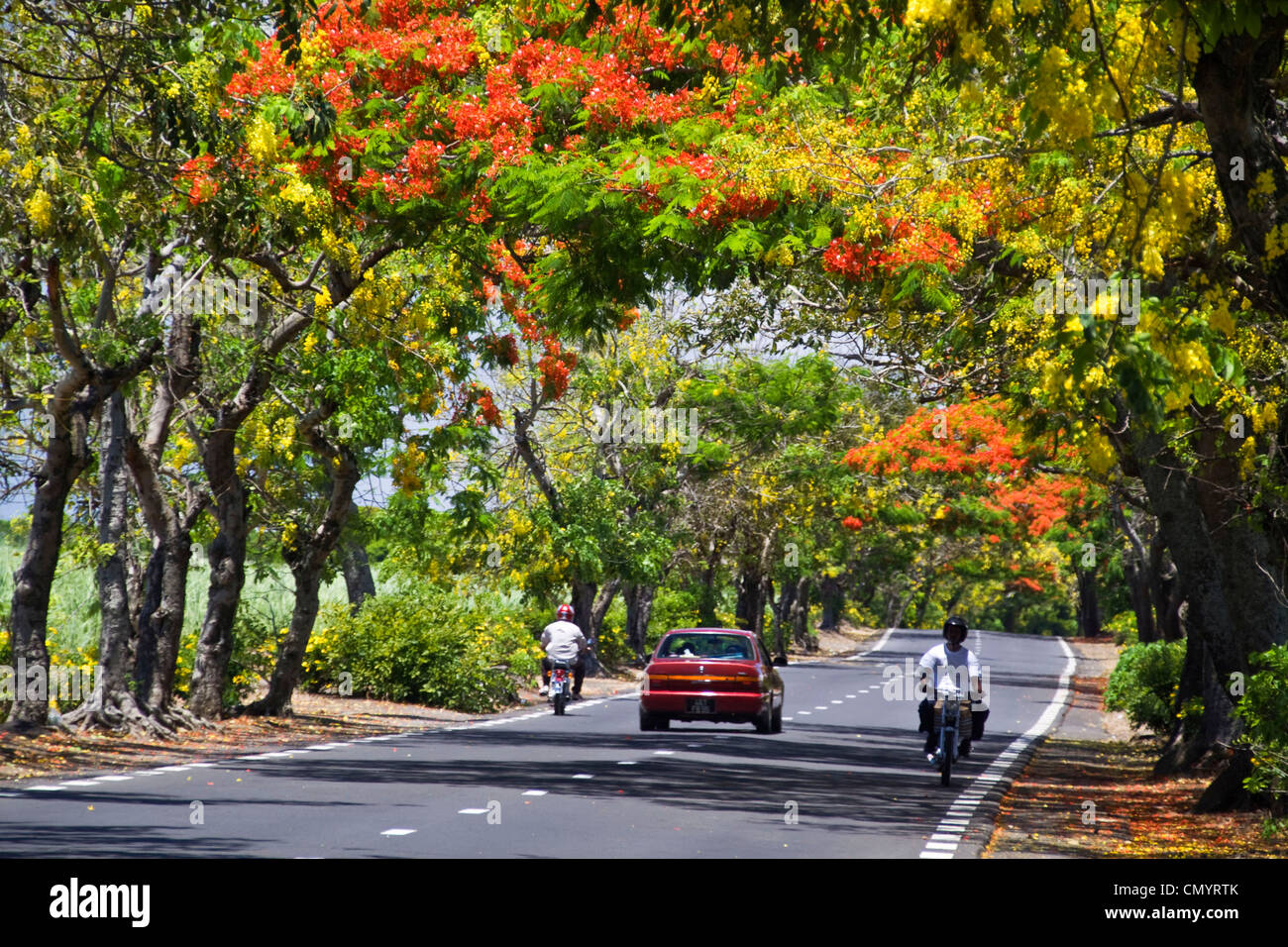 Tree Alley with  Flamboyant, Royal Poinciana, and Lamburnum trees with yellow flowers, Mauritius, Africa - Stock Image