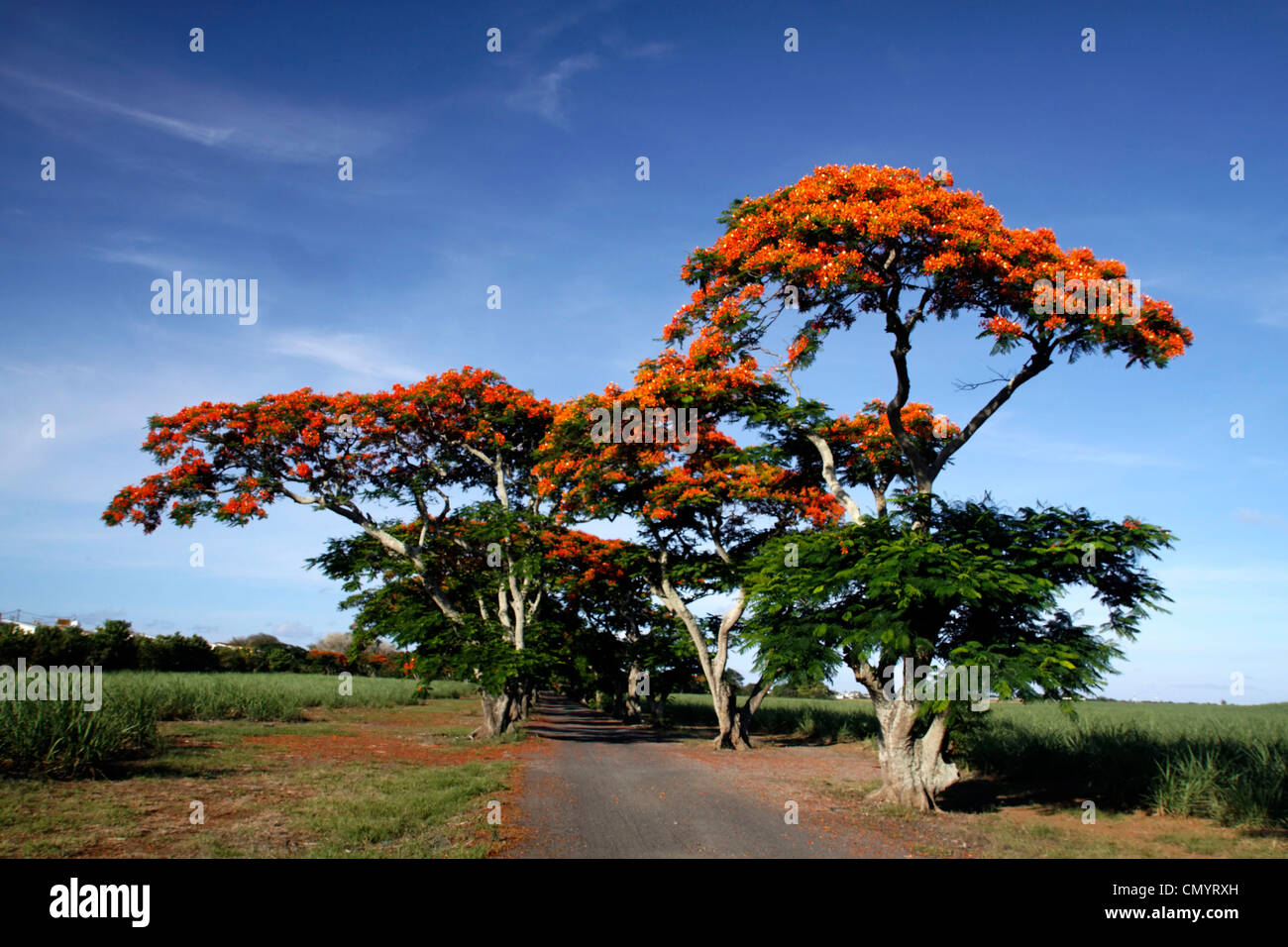 Flame Tree, Flamboyant, Royal Poinciana, lonely street, nobody, Mauritius, Africa - Stock Image