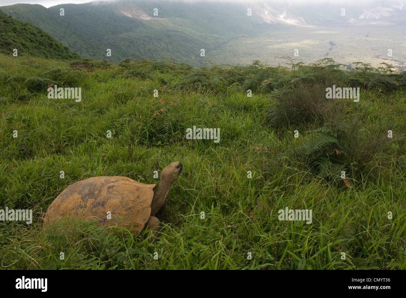 Galapagos Giant Tortoise on rim of Alcedo Volcano, Isabela Island, Galapagos Islands, Ecuador, South America. - Stock Image