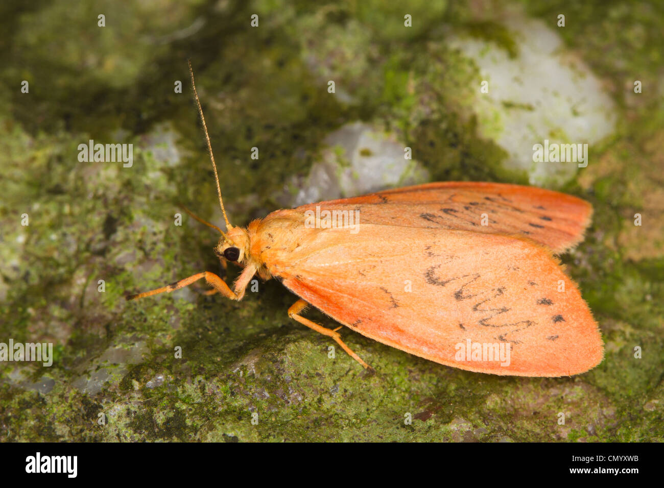 Rosy Footman (Miltochrista miniata) Stock Photo