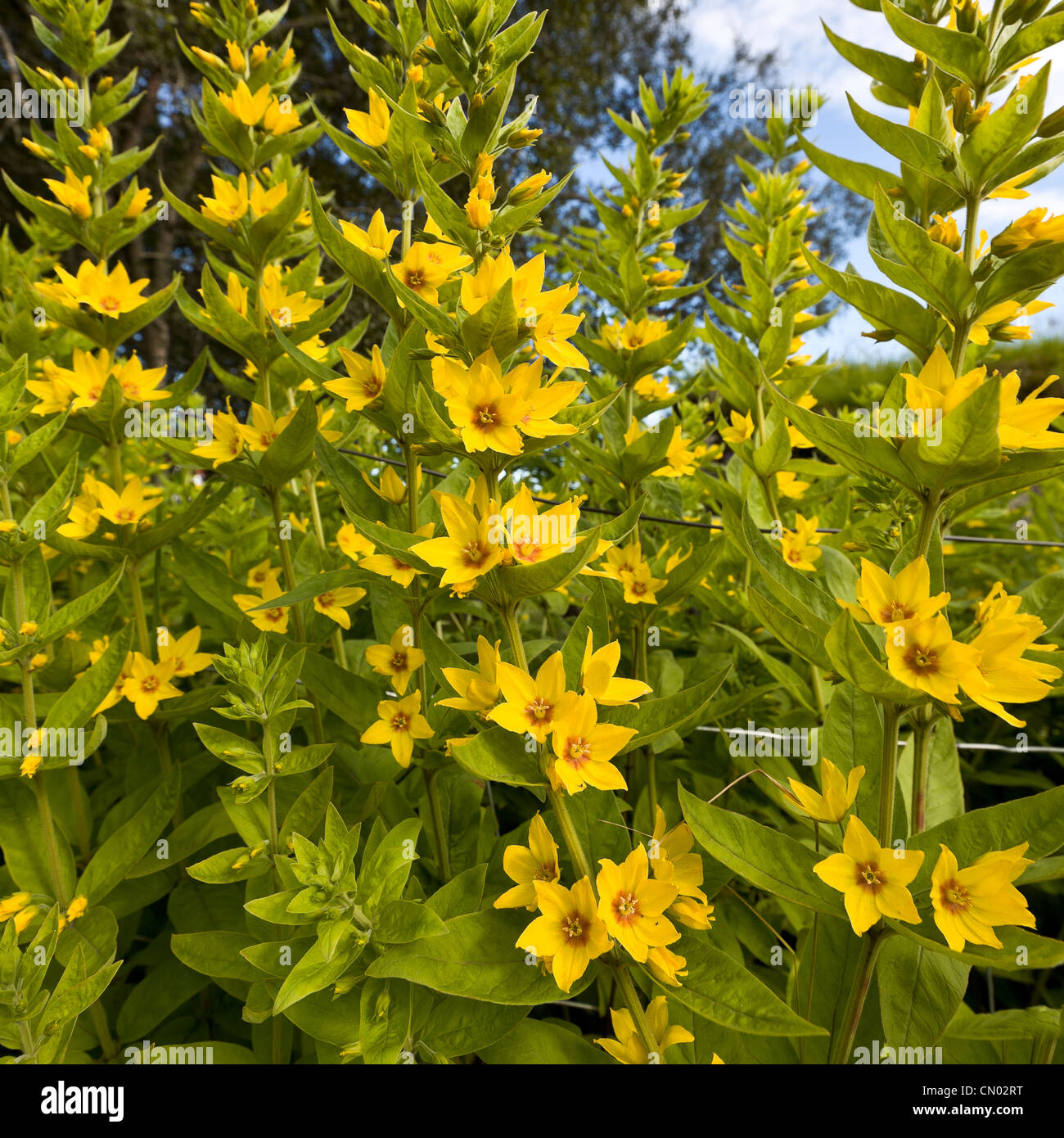 Yellow annual flowers in garden iceland stock photo 47330748 alamy yellow annual flowers in garden iceland izmirmasajfo Image collections