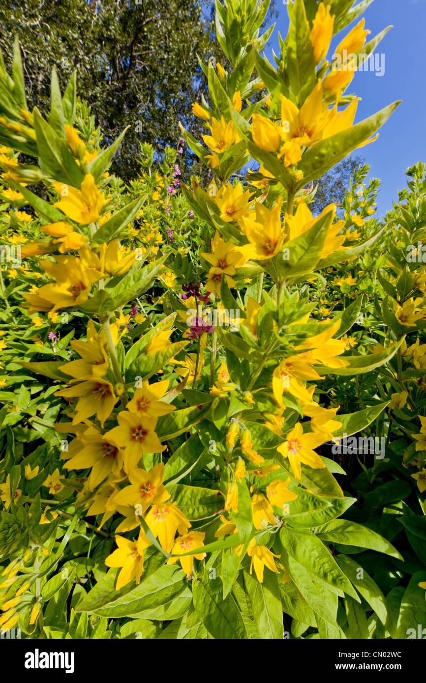 Wild blm stock photos wild blm stock images alamy yellow annual flowers in garden iceland stock image izmirmasajfo