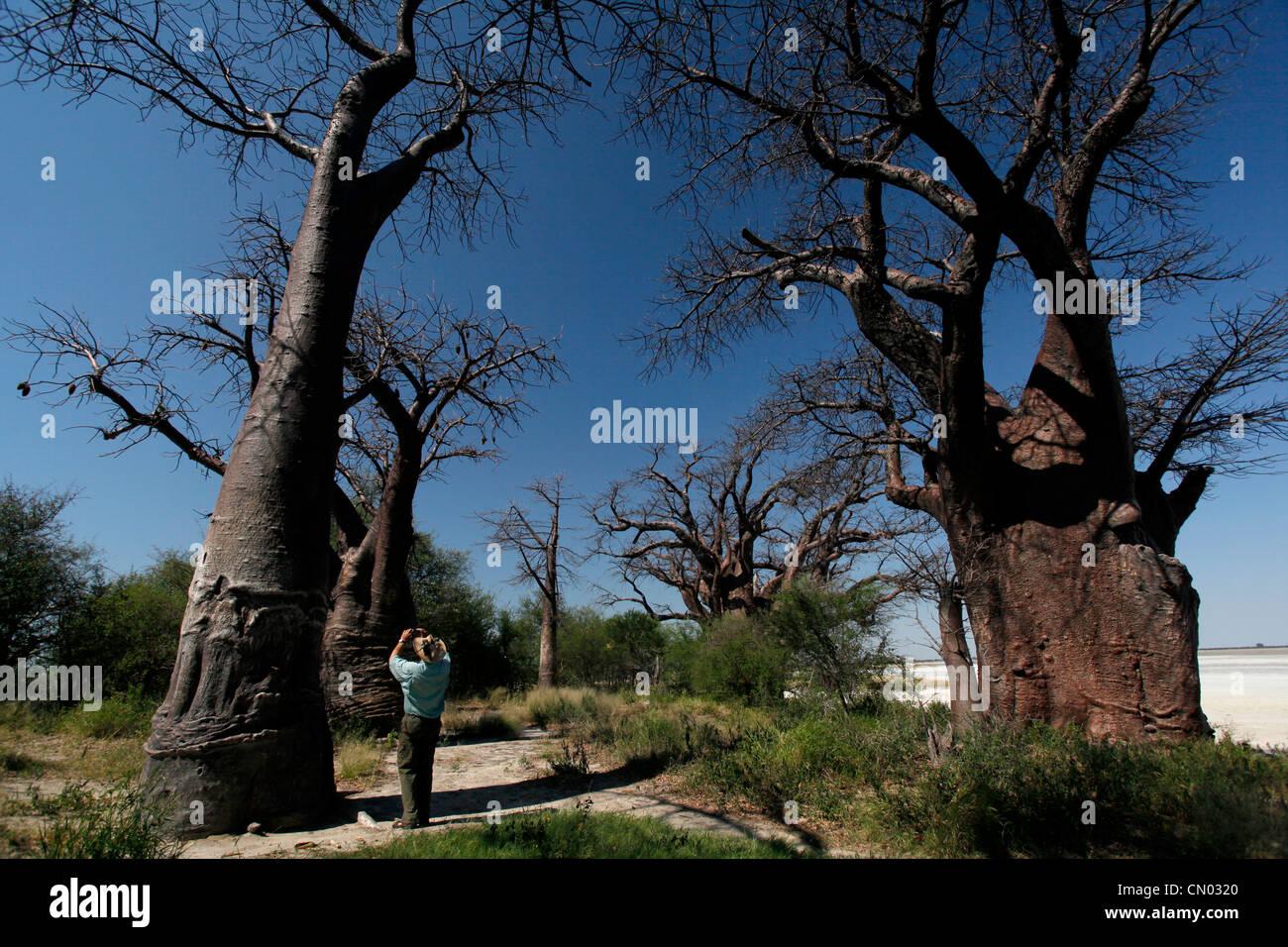 A tourist photographs Thomas Baines baobabs in Nxai national park in Botswana. - Stock Image