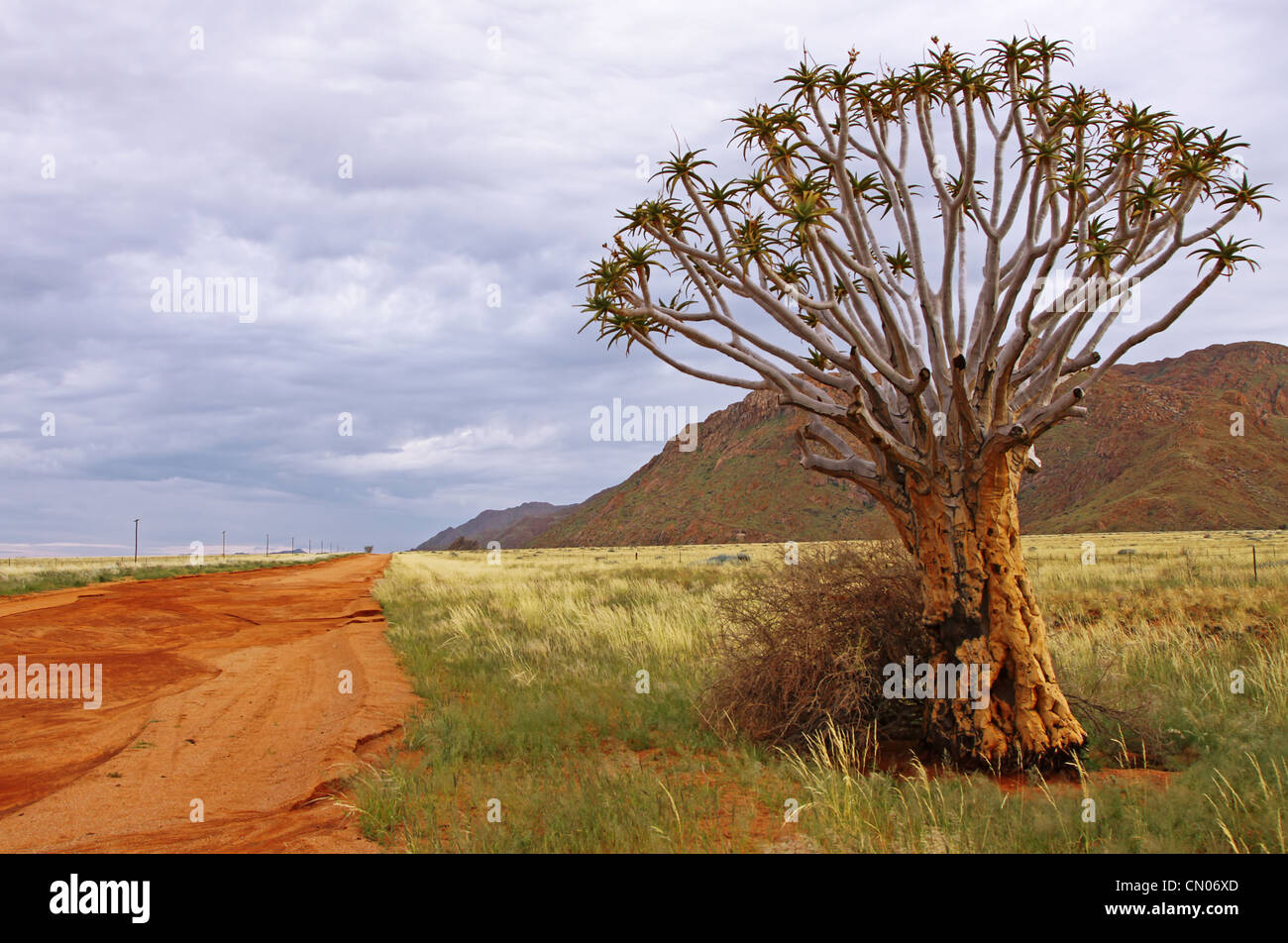 Quiver tree at the famous D707 in Namibia, Aloe dichotoma - Stock Image