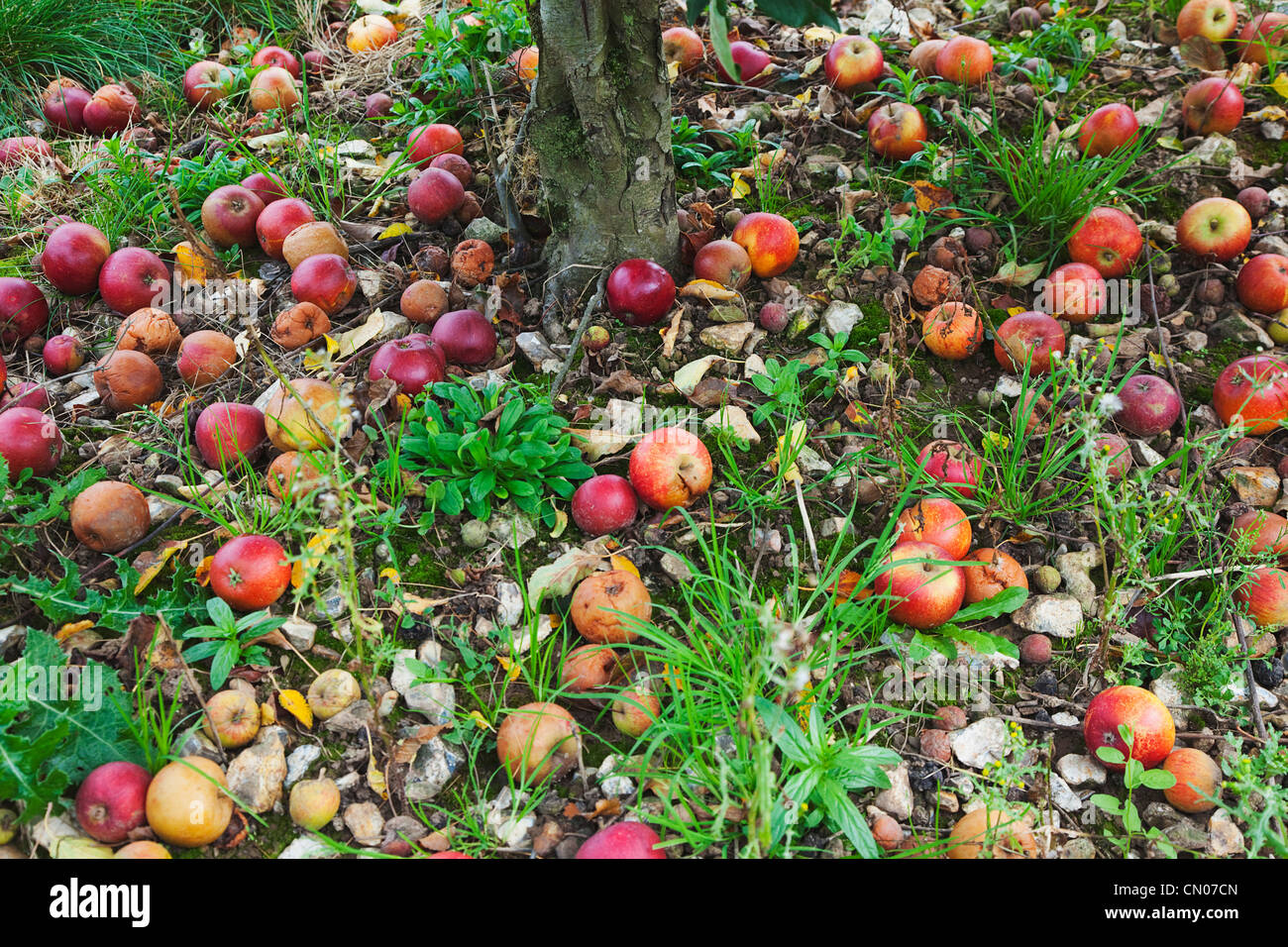 Fruit Apple Katy Apples Rotting On The Ground Having Fallen From Tree In Grange Farms Orchard