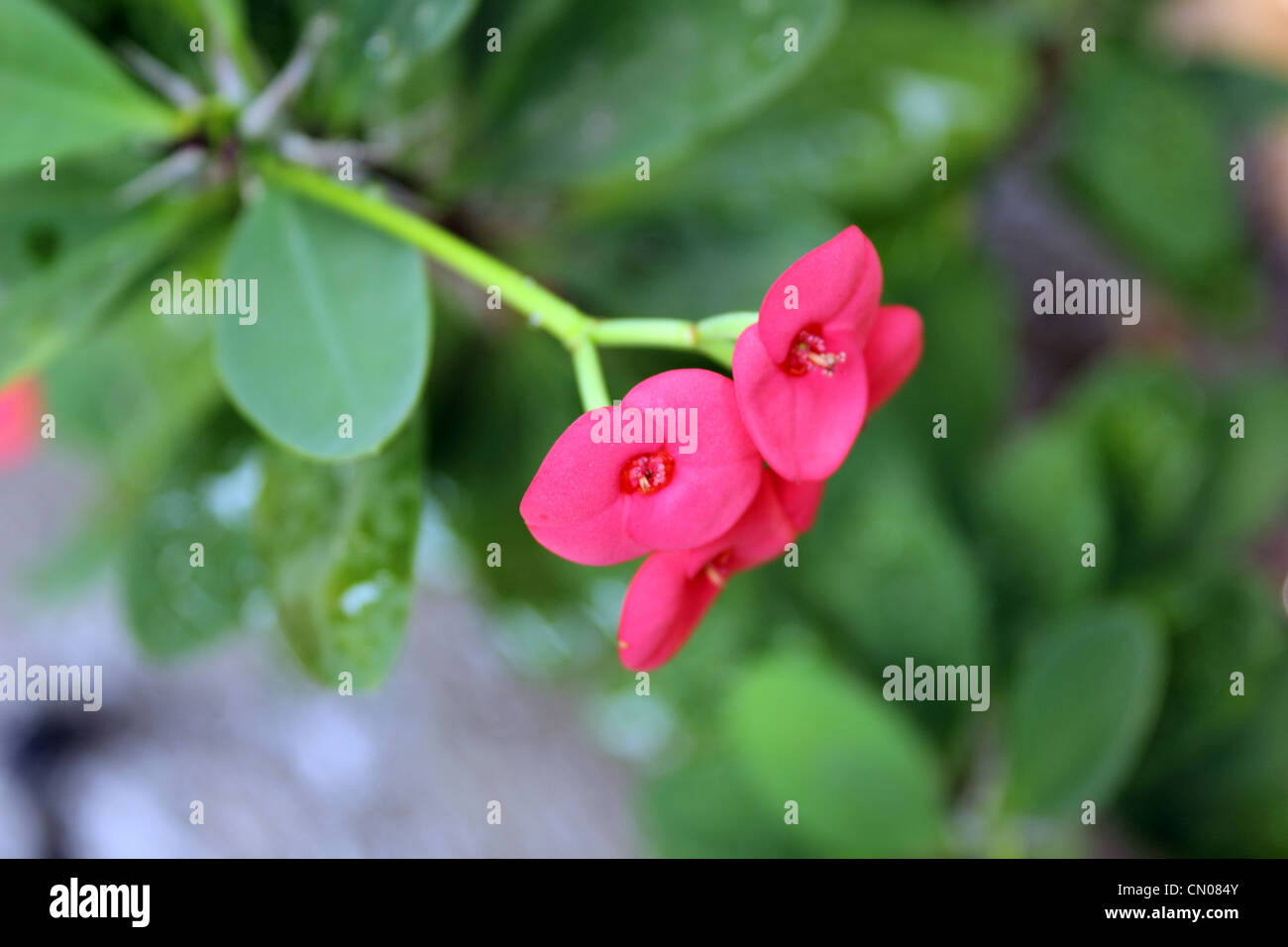 Red Pink Thorn Flower Stock Photos Red Pink Thorn Flower Stock