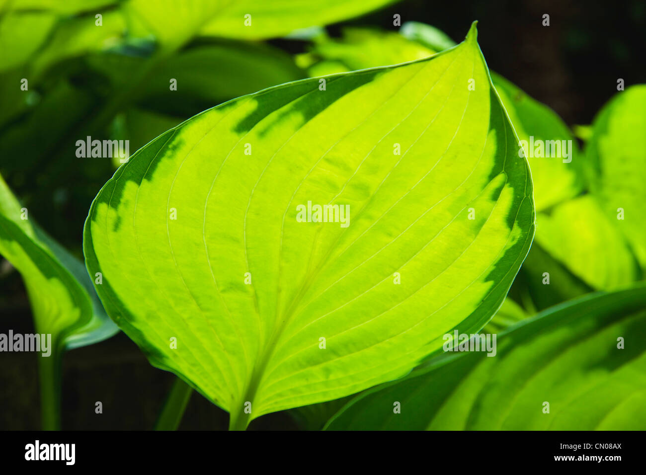 Plants Hosta Green Leaves With Sunlight Shining Through