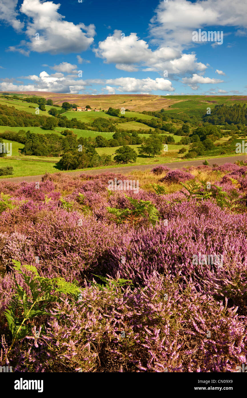 Heather blooming on the Eskdale valley moor. Castleton , Eskdale, North Yorks National Park, North Yorkshire, England - Stock Image
