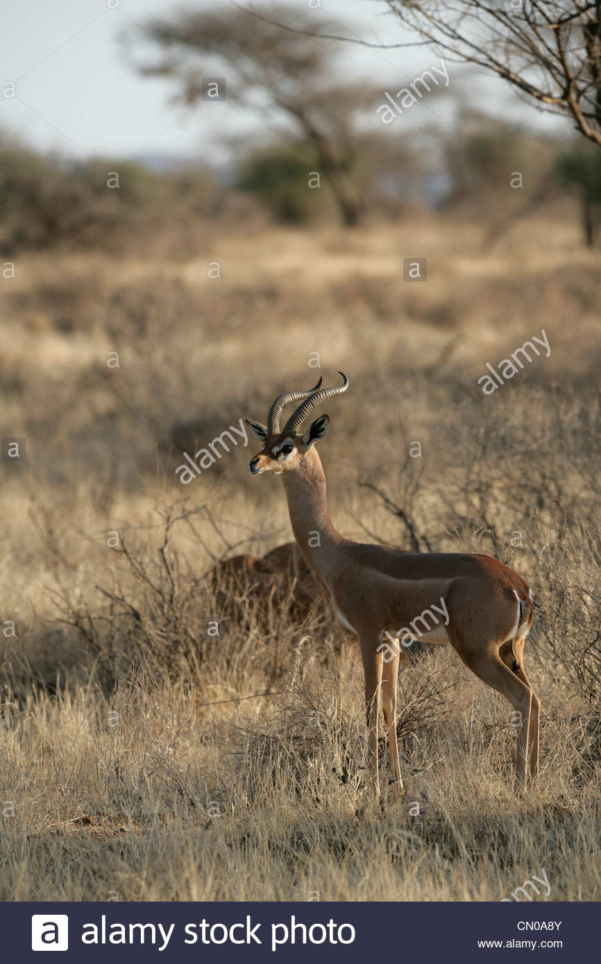 Gerenuk Litocranius walleri or Waller's Gazelle on guard whilst others feed - Stock Image