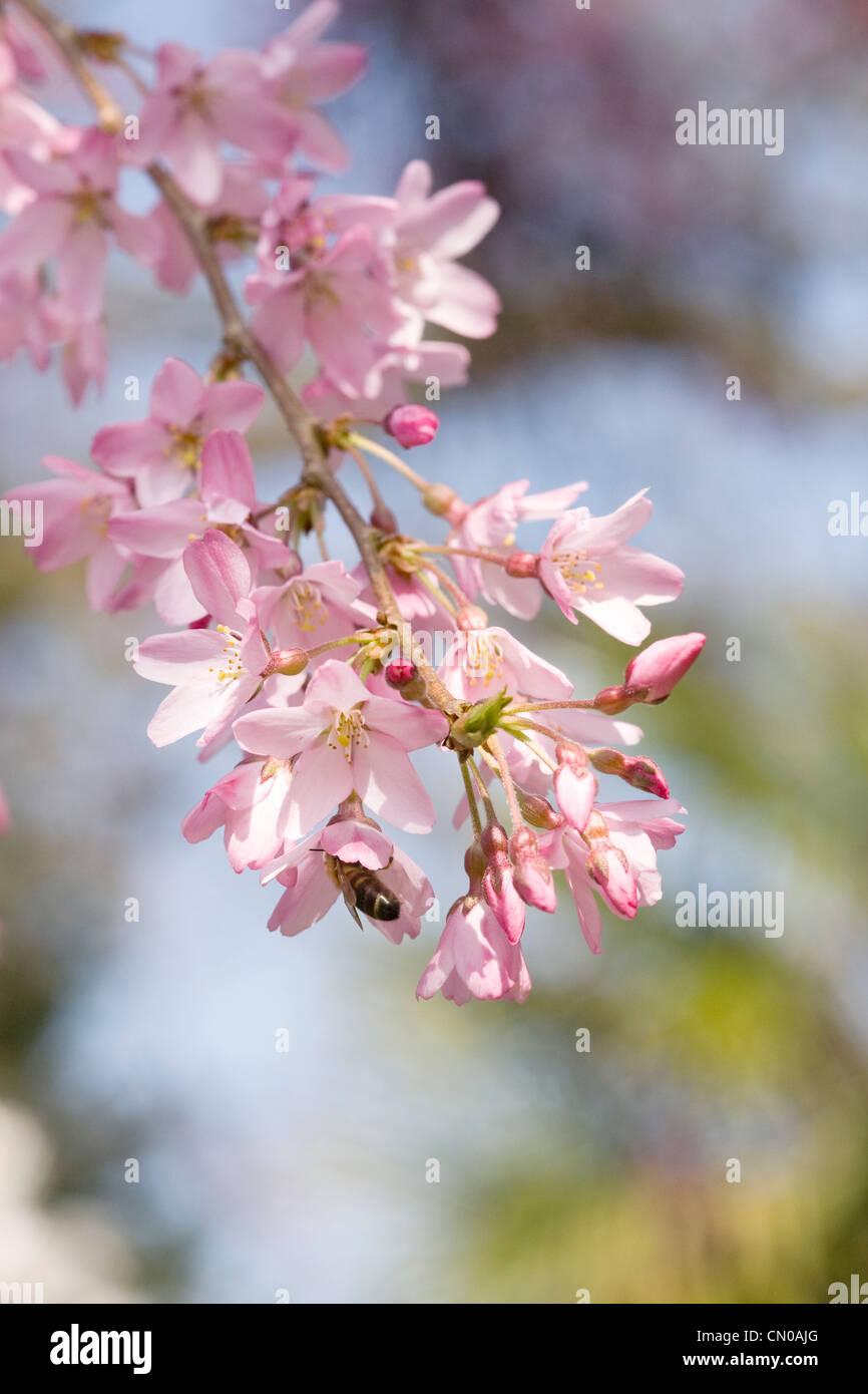 Prunus pendula 'Pendula Rosea'. Drooping Rosebud Cherry. - Stock Image
