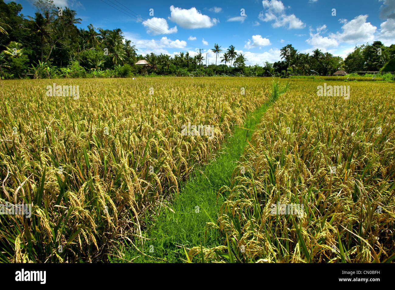 Rice field at Ubud, Bali, Indonesia. - Stock Image