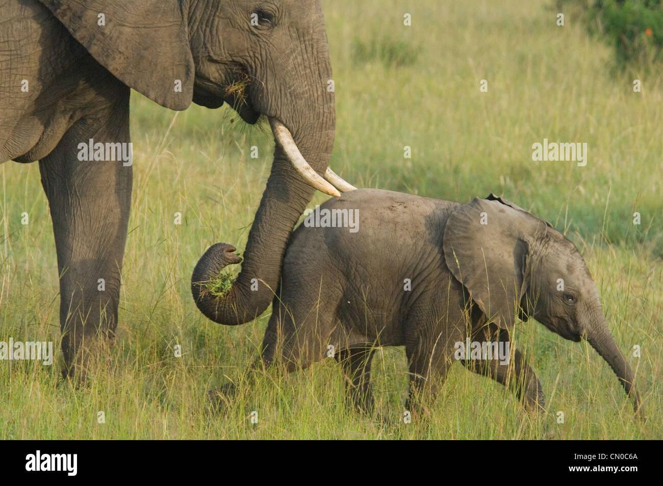 Elephant mom pushing baby with trunk (Loxodonta africana) - Stock Image