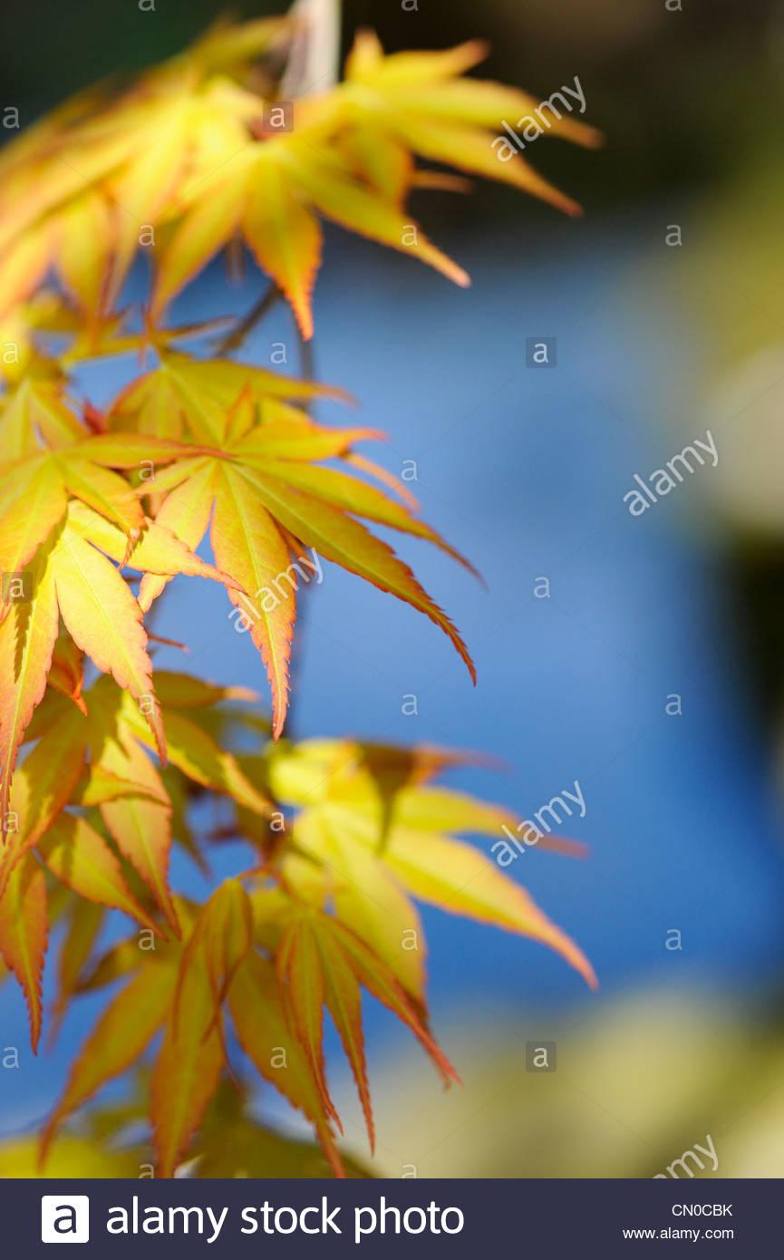 Acer Palmatum, Katsura Japanese maple tree against a stream reflecting blue sky background. Shallow DOF - Stock Image