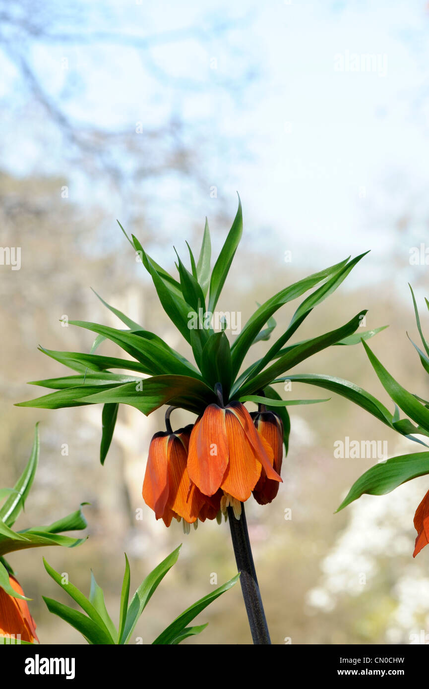 Fritillaria imperialis. Crown Imperial flower - Stock Image