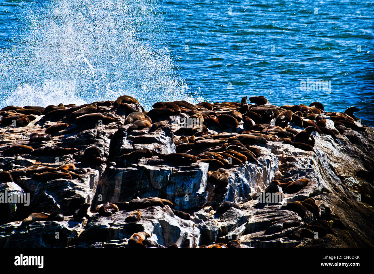 A colony of Cape Fur Seals, Arctocephalus pusillus, on an island off Diaz Point, near Luderitz, Namibia, Africa - Stock Image