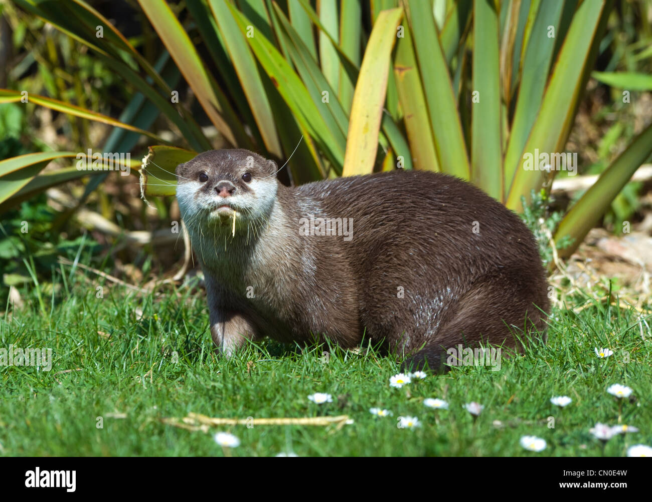 why the asian small clawed otter The asian short clawed otter is the smallest of all the otter species its name comes from the very small claws on its fingers, they rely on their sensitive and dexterous fingers to forage for their prey, and so do not have the long claws which most otters have.
