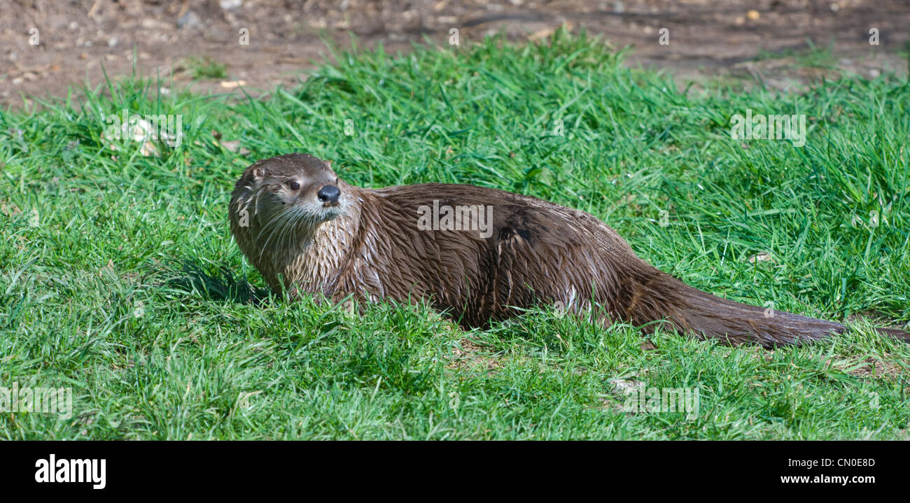 North American River Otter (Lontra canadensis) Captive Stock Photo