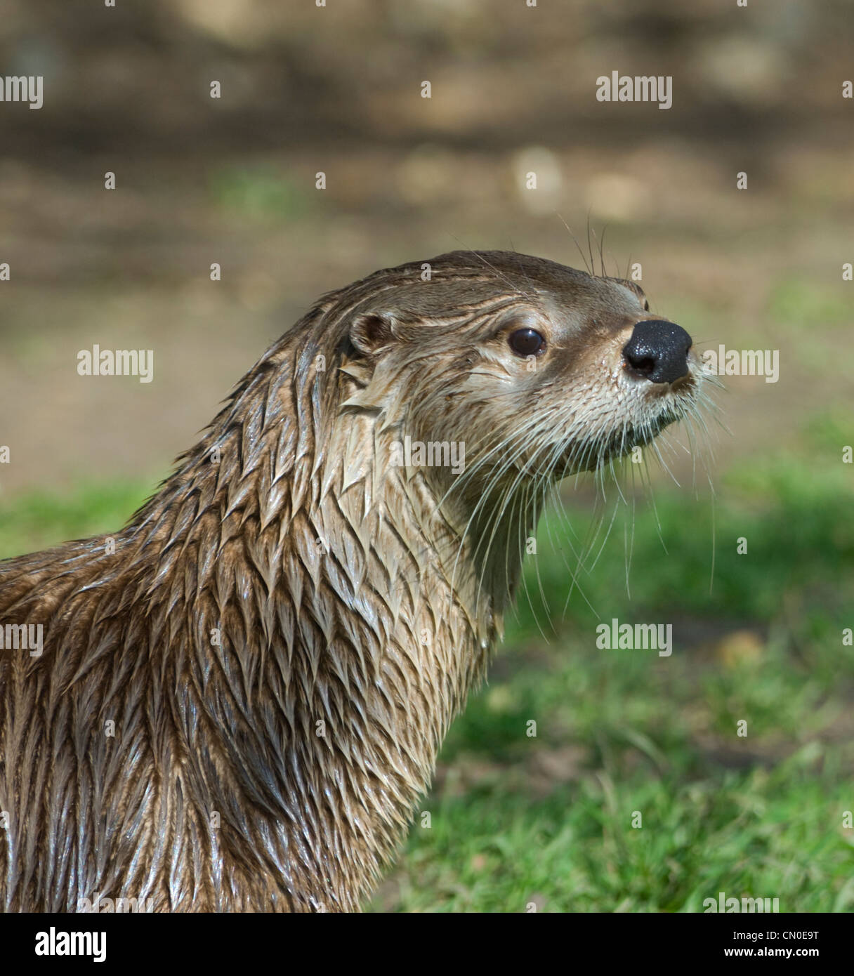 North American River Otter (Lontra canadensis) Stock Photo