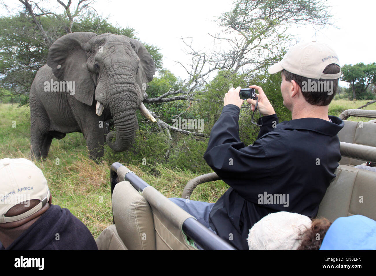 An elephant looks at the camera whilst a tourist takes a photograph of him. Lions Sands, Kruger NP, South Africa. - Stock Image