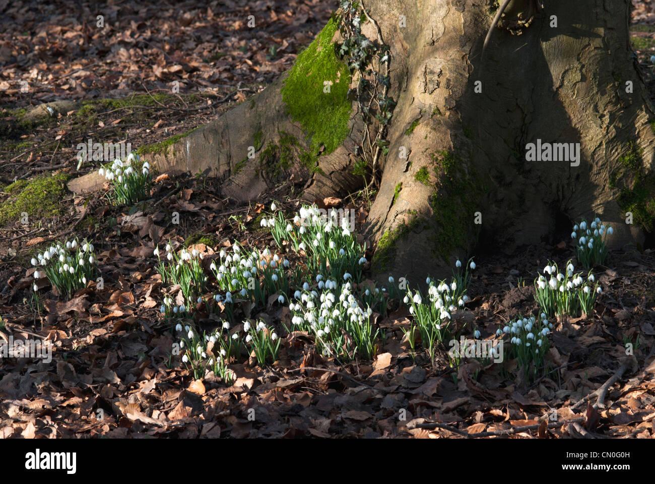 Galanthus nivalis, Snowdrop - Stock Image