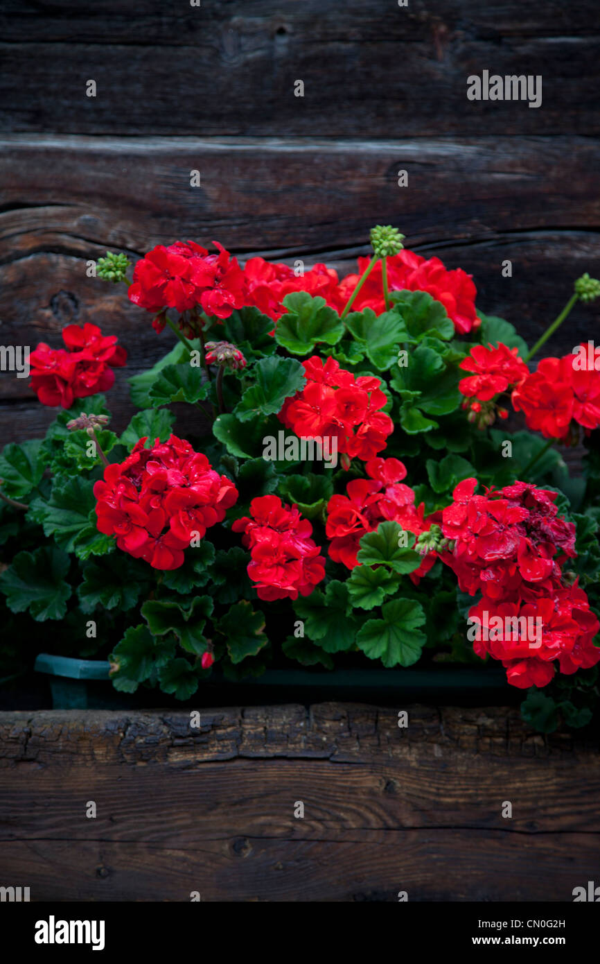 Window box of red geraniums on Swiss chalet. - Stock Image