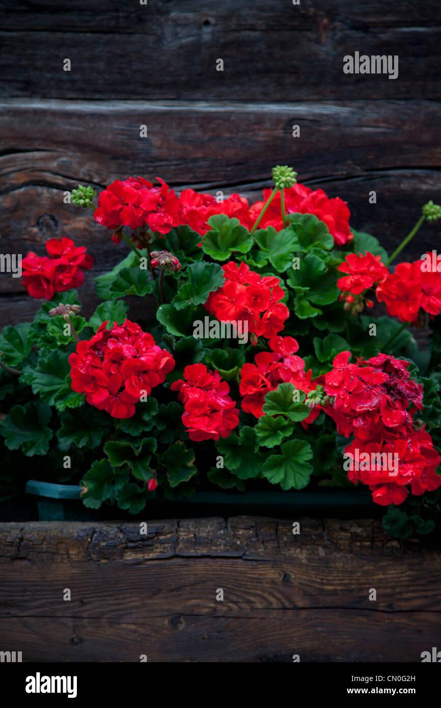 Window box of red geraniums on Swiss chalet. Stock Photo