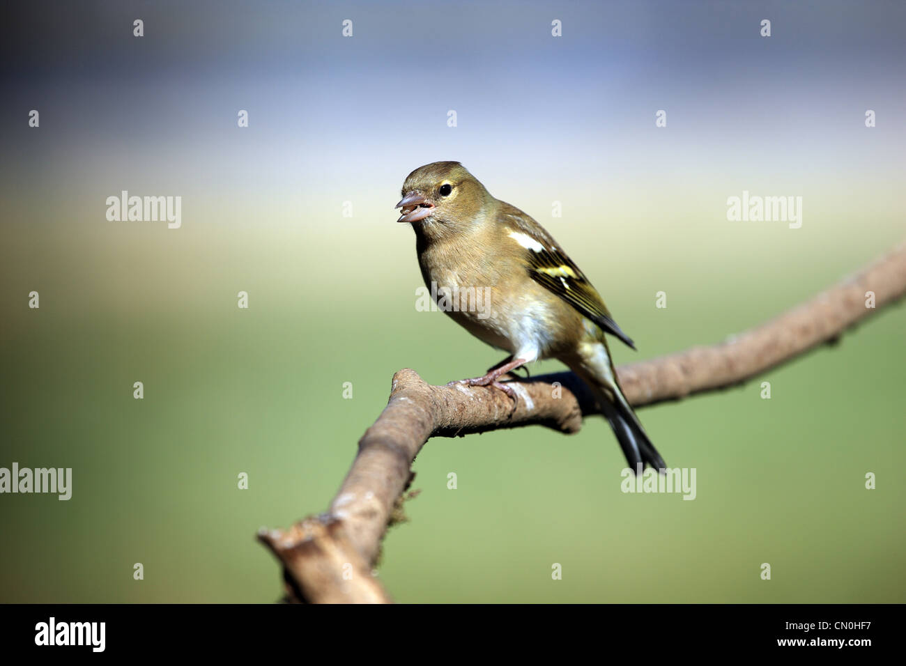 Adult Chaffinch on a tree branch in Scotland - Stock Image