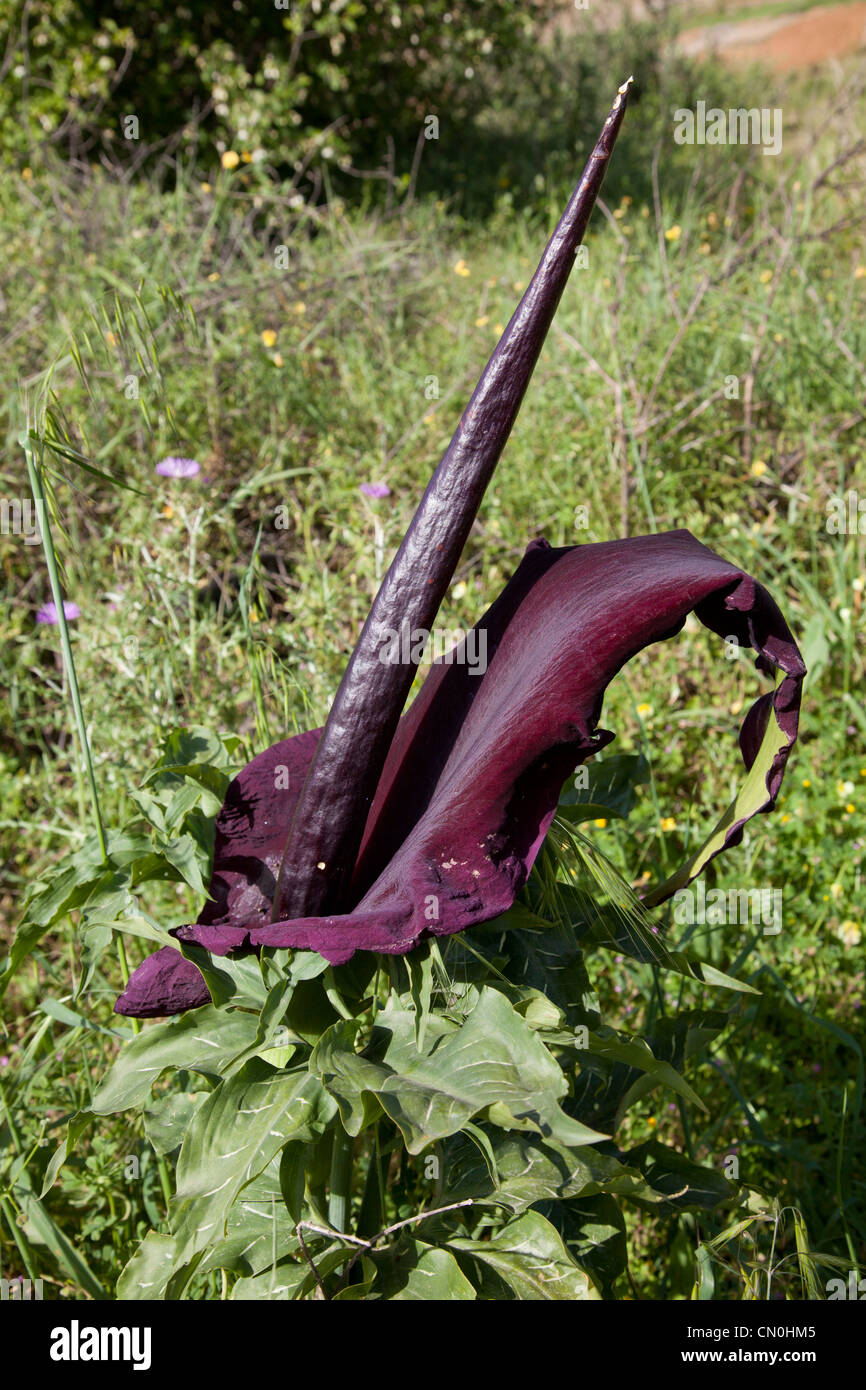 Dragon Arum (Dracunculus vulgaris), Crete, Greece - Stock Image