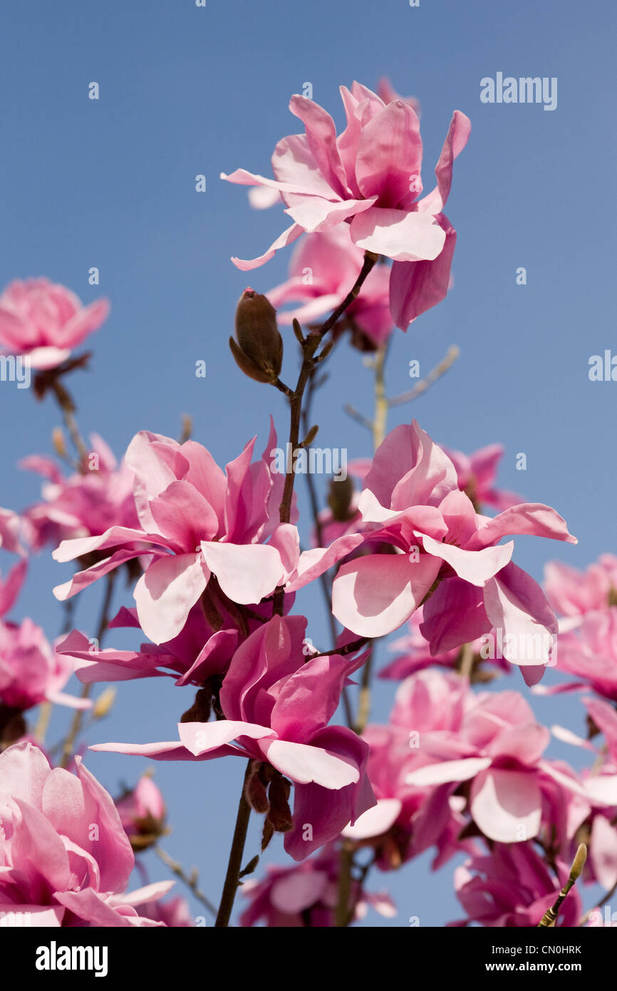 Magnolia 'J.C. Williams' flowers against a blue sky background. - Stock Image