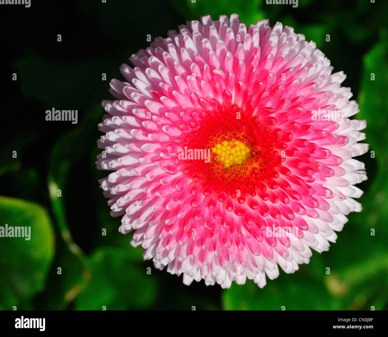English daisy pink stock photos english daisy pink stock images a pink english daisy flower asteraceae bellis perennis at the rose garden in izmirmasajfo