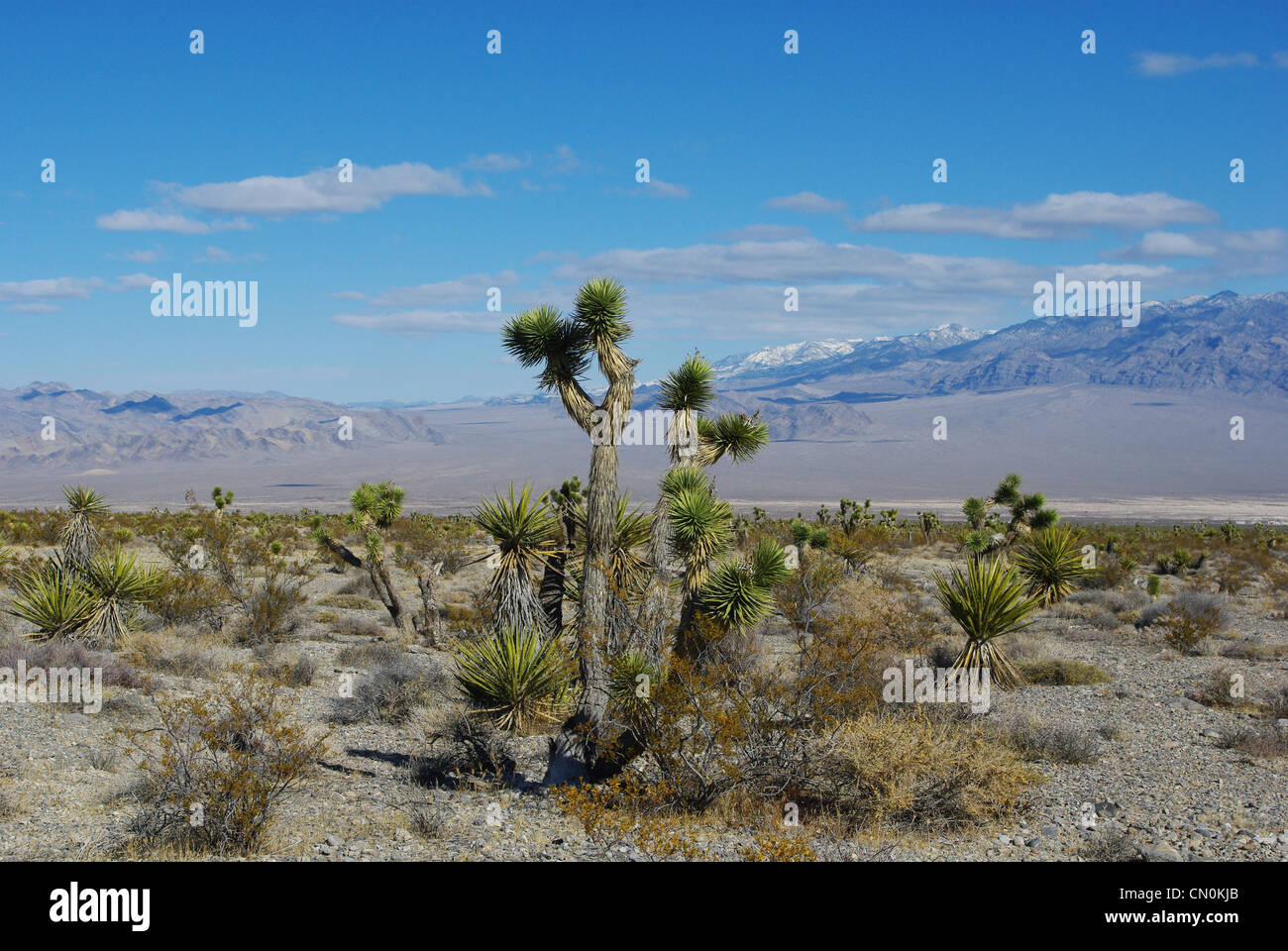 Joshua and yuccas, vast desert and high mountains near Mount Charleston, Nevada - Stock Image