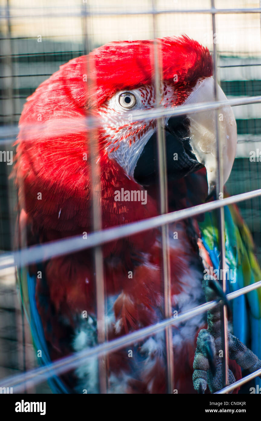 A scarlet macaw parrot's head in a cage. - Stock Image