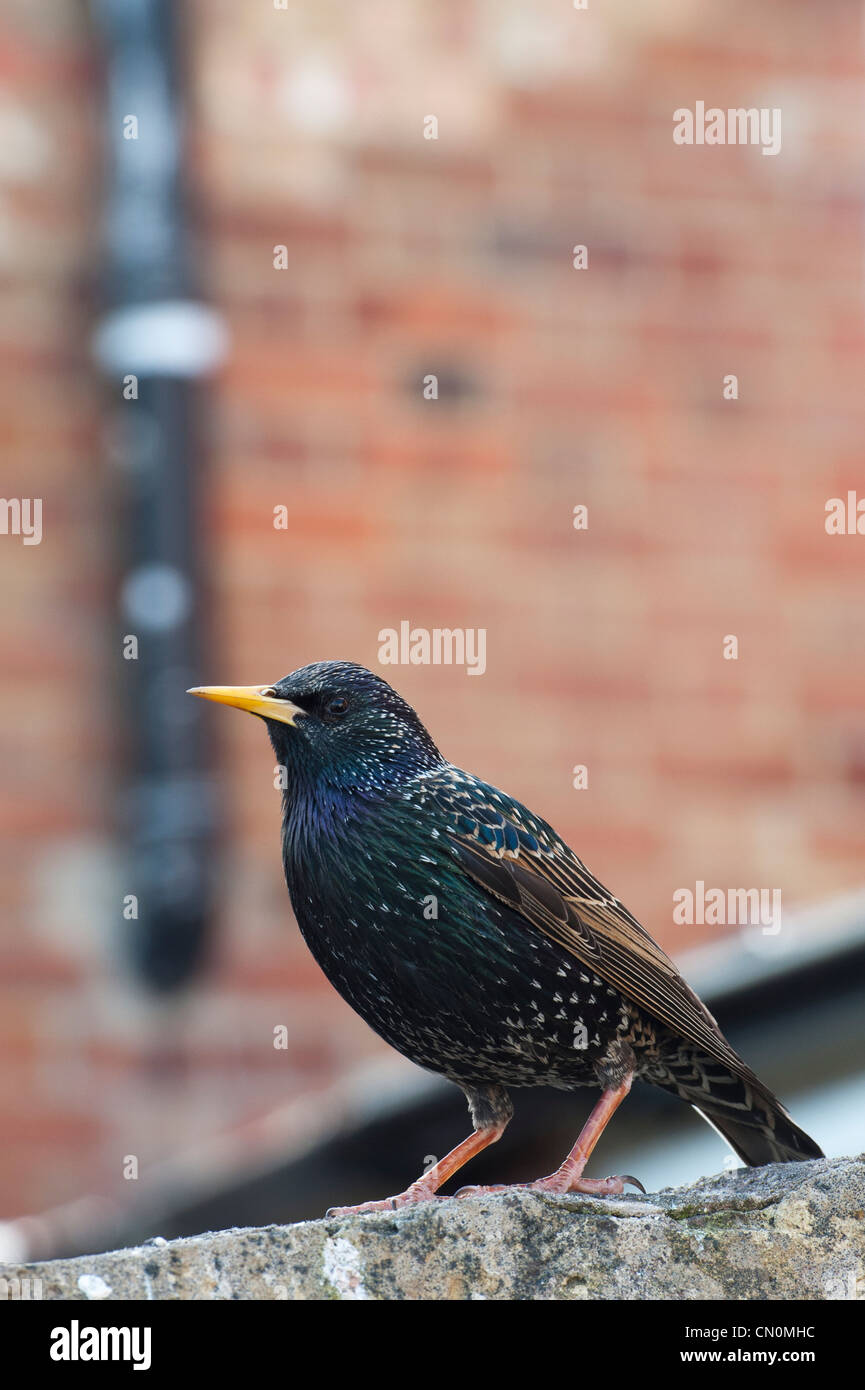Sturnus vulgaris. Starling on a garden wall against a brick background - Stock Image