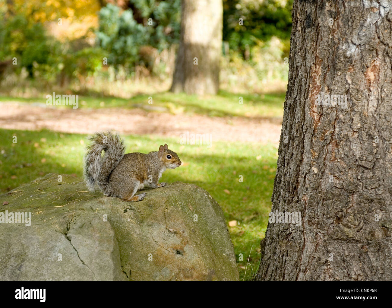 A squirrel on autumn leaves beside a tree in the park looks towards the camera - Stock Image
