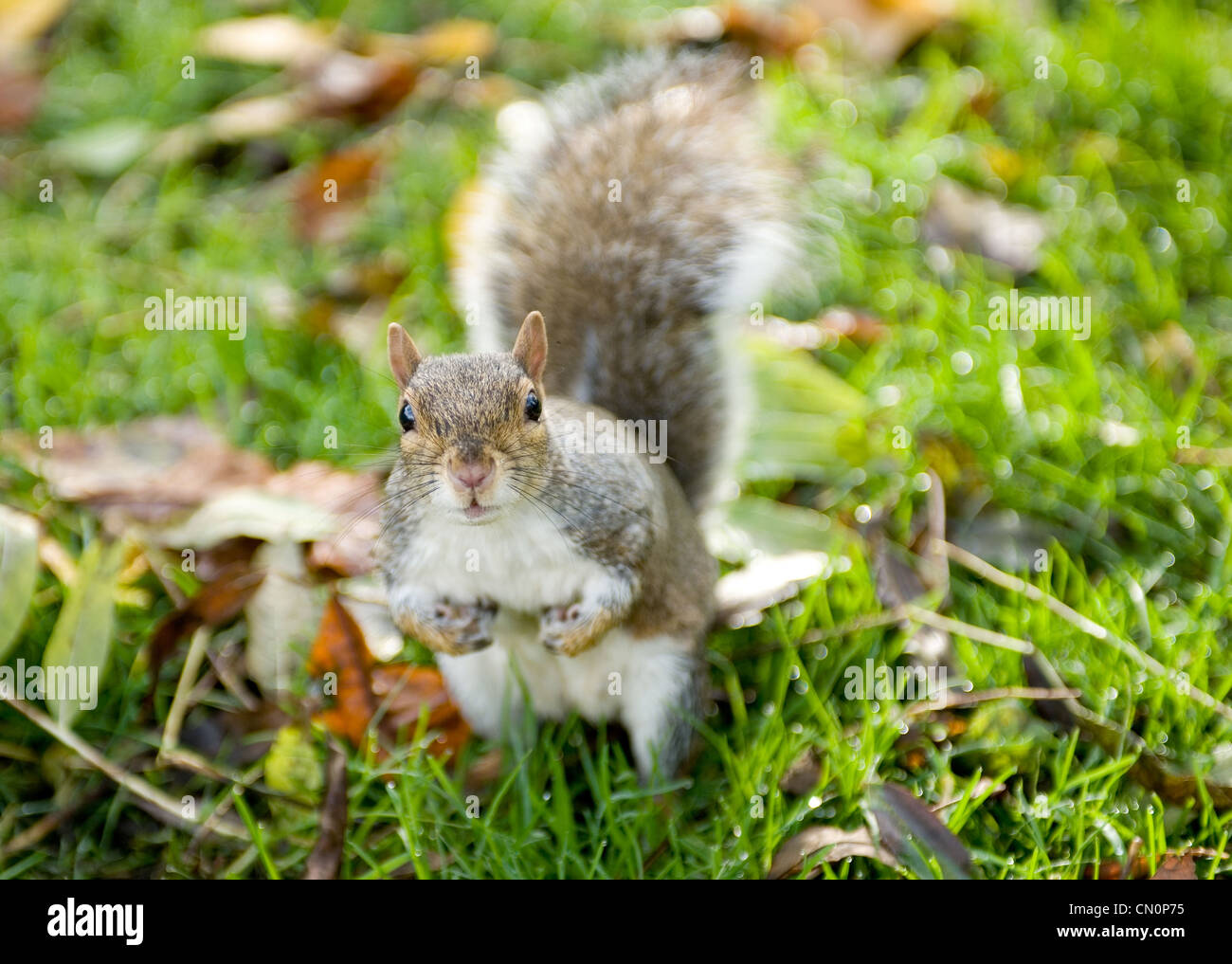 A cheeky squirrel looking for nuts looks up at the camera in the park during autumn. - Stock Image