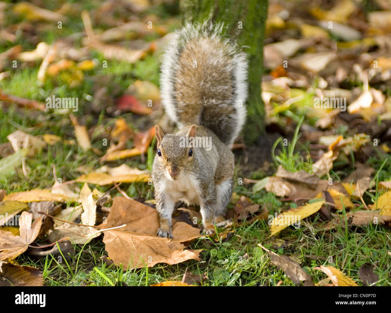 A squirrel on autumn leaves in the park looks towards the camera - Stock Image