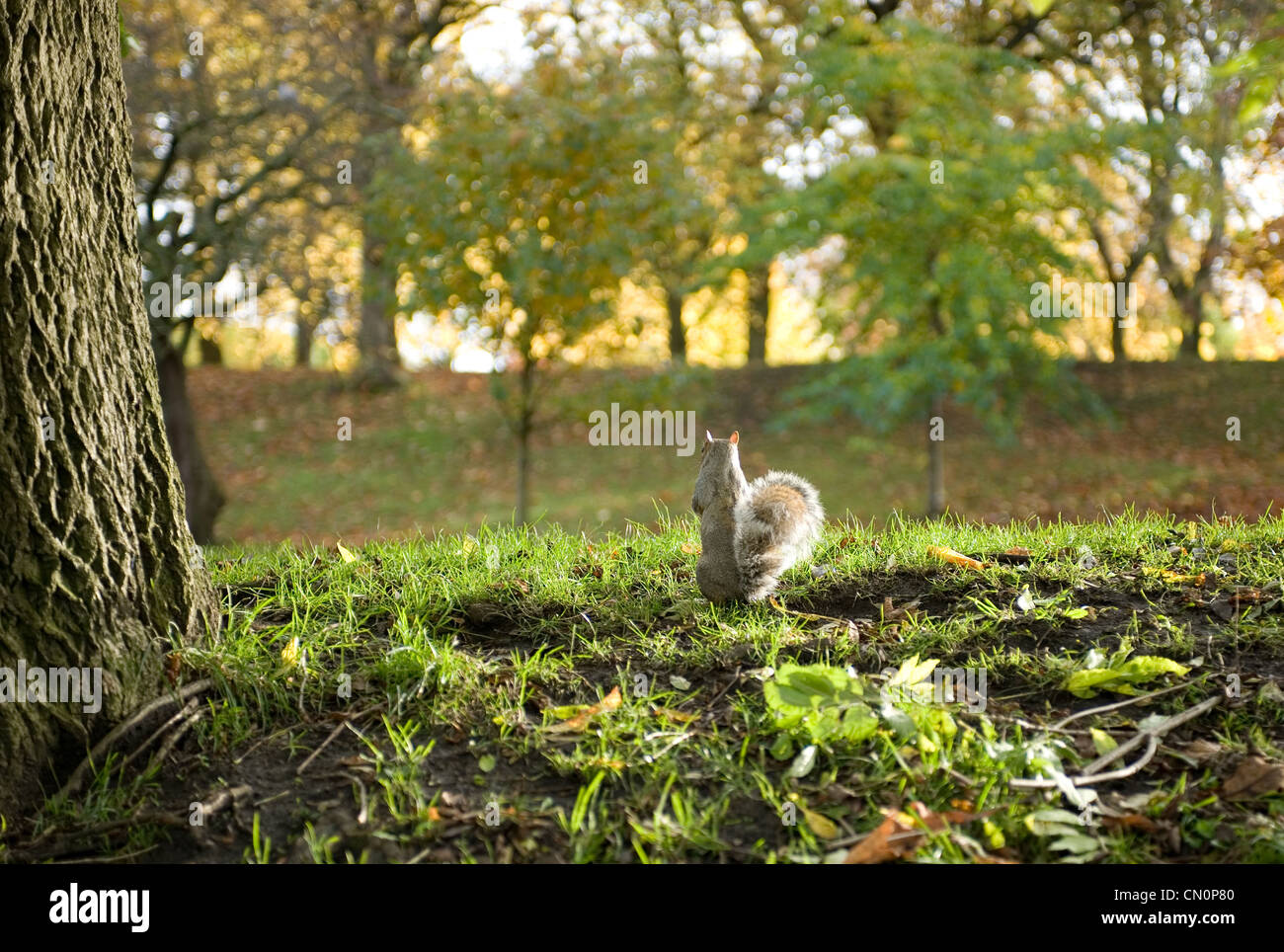 The back of a squirrel on autumn leaves in the park looking away from the camera - Stock Image