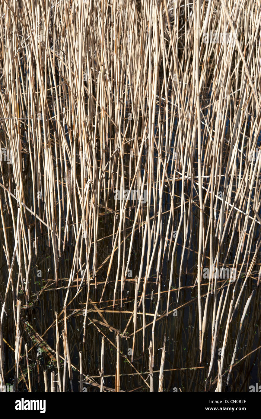 Close up of reed stems in water. Striking pattern of reeds in sunlight on black coloured water - Stock Image