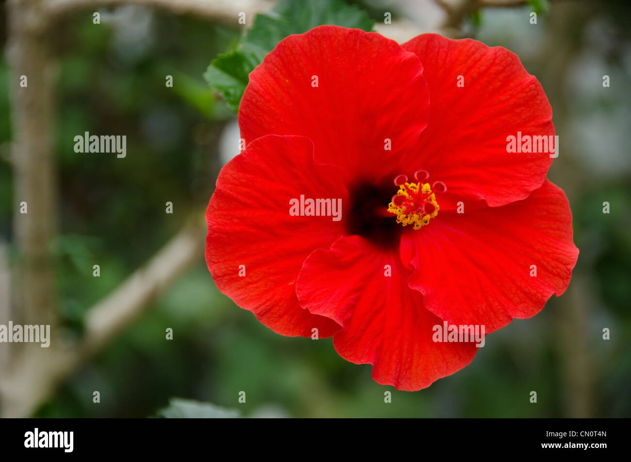 Red flower hibiscus in green stock photos red flower hibiscus in red hibiscus flower in front of a green background stock image izmirmasajfo