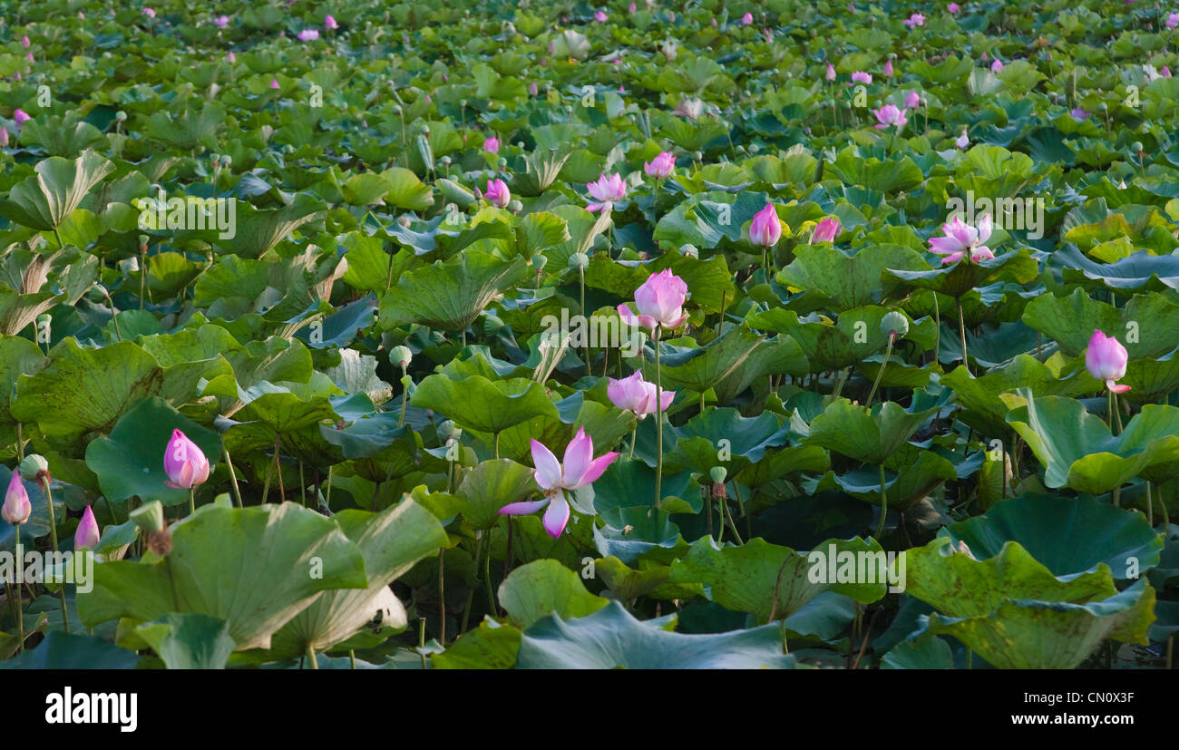 Red lotus pond thailand stock photos red lotus pond thailand stock lotus flower pond thailand stock image izmirmasajfo