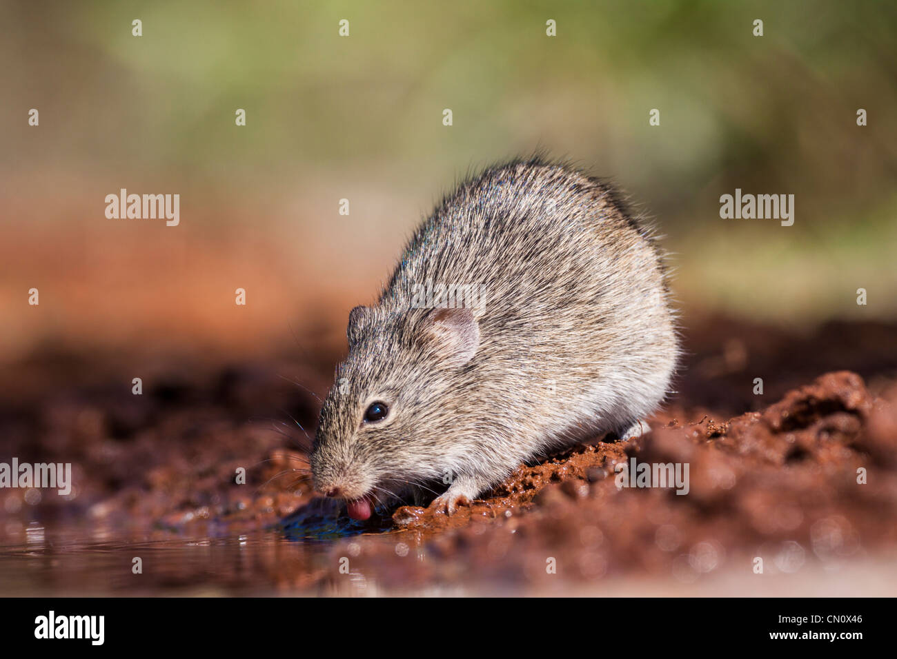 Mouse coming for water to a pond on a ranch in South Texas. Stock Photo